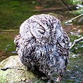 Whiskered Screech-Owl (18375385969).jpg