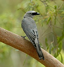 White-bellied Cuckooshrike kobble.JPG