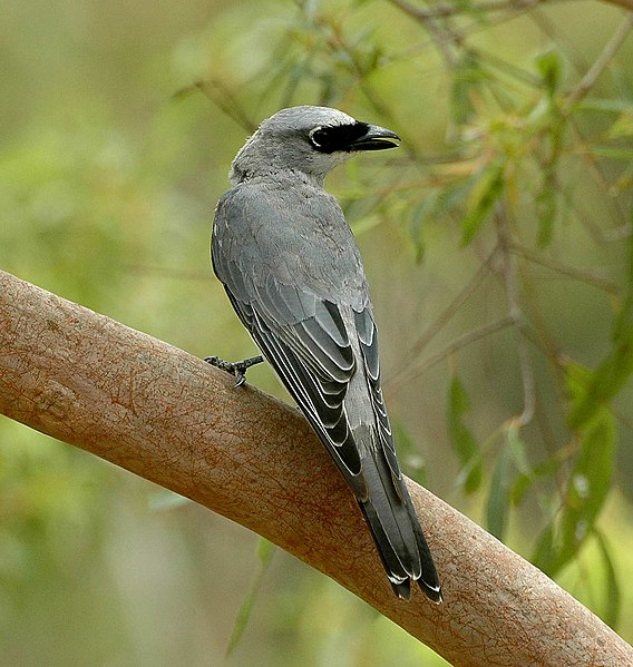Fájl:White-bellied Cuckooshrike kobble.JPG