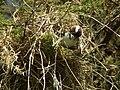 White-browed Sparrow-weaver Plocepasser mahali in Tanzania 1753 Nevit.jpg
