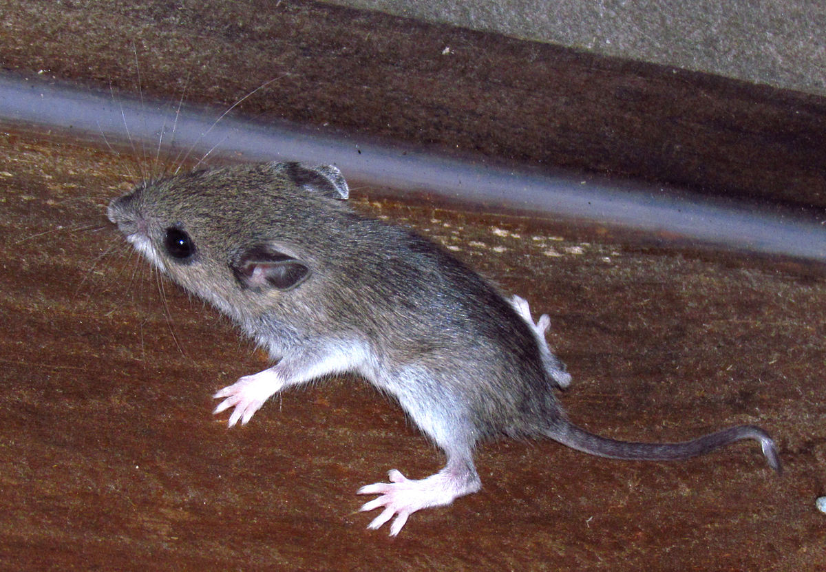 White footed mouse wikipedia for American classic house mouse