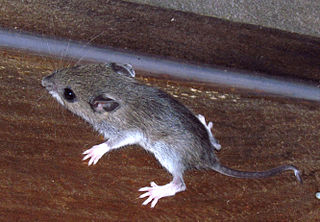 White-footed mouse Species of mammal