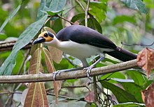 A long bird, with yellow and black on the head, a black back, and white underbelly, is perched on a bare branch in the low levels of a rain forest.