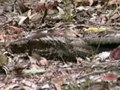 Tập tin:White-throated Nightjar95.ogv