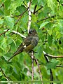White-winged Grosbeak (Mycerobas carnipes) (25526407740).jpg
