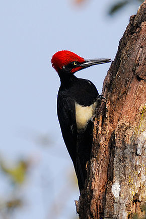 Description de l'image WhiteBelliedWoodpecker.JPG.