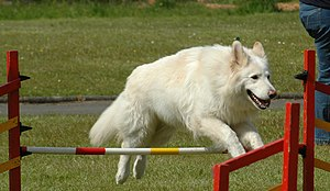 White Shepherd - White Shepherd performing in dog agility