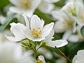 White flowers (14234512377).jpg