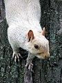 White squirrel (2848281172).jpg