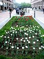 White tulips, Northern avenue, Yerevan.jpg