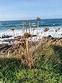 Whitesand Bay - Wild Carrot.jpg