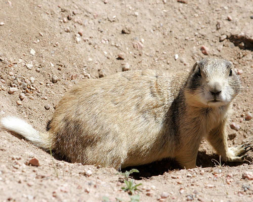 The average adult weight of a White-tailed prairie dog is 964 grams (2.13 lbs)