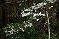 Wild Dogwood (11724840924).jpg