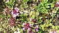 Wild thyme (Grubigstein) (24250858961).jpg