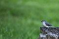 Wildlife birds 11 - West Virginia - ForestWander.jpg