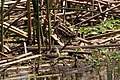 Wilson's Snipe Cattail Marsh Beaumont TX 2018-04-24 10-13-33 (42068547821).jpg