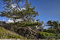 Wind blown casuarina tree at Ginger Bay.jpg