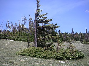 Krummholz - Picea engelmannii flag tree in Colorado, at the tree line