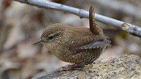 Winter Wren (8085328310).jpg