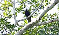 Wompoo Fruit-Dove (Ptilinopus magnificus) (31361776135).jpg