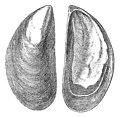 Wood-1 VIII-10 Mytilus antiquorum.jpg