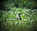 Wood Duck male. Aix sponsa (38816918742).jpg