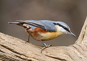 Wood Nuthatch - cropped.jpg
