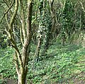 Woodland near Stoney Cove - geograph.org.uk - 511414.jpg