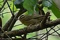 Worm-eating Warbler Fall Out Sabine Woods TX 2018-04-08 11-14-12 (40772115754).jpg