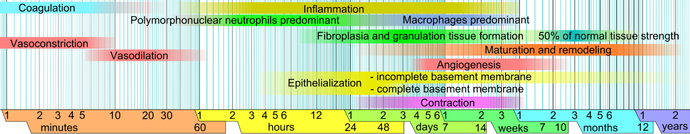 Approximate times of the different phases of wound healing on a logarithmic scale, with faded intervals marking substantial variation, depending mainly on wound size and healing conditions, but image does not include major impairments that cause chronic wounds. Wound healing phases.png