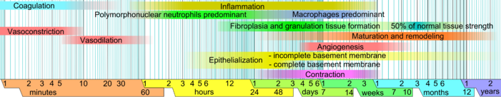 Roximate Times Of The Diffe Phases Wound Healing With Faded Intervals Marking Substantial Variation Depending Mainly On Size And