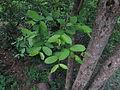 Wrightia Tinctoria leaf 015.JPG