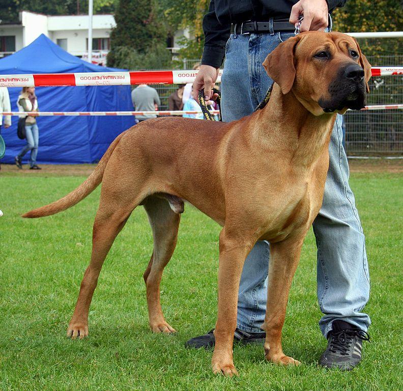 El Tosa Inu es utilizado en su país de origen como un perro guardián