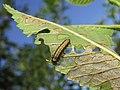 Xanthogaleruca luteola larva - Galeruca del olmo (9550667900).jpg