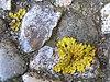 Xanthoria parietina 2.jpeg