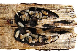 Ambrosia beetle - Gallery of Xylosandrus crassiusculus split open, with pupae and black fungus