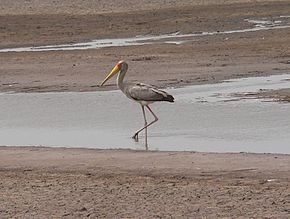 Yellow-billed stork.jpg