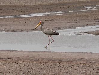 North Bank Division - Image: Yellow billed stork