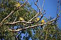 Yellow-footed Green Pigeons (Treron phoenicopterus) (20624046639).jpg