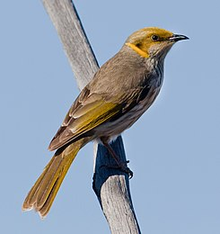 Yellow-plumed Honeyeater (Ptilotula ornata).jpg