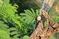Yellow-vented bulbul (Pycnonotus goiavier).JPG