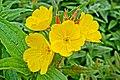 Yellow flowers - panoramio (3).jpg