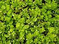 Yerba Buena - Clinopodium douglasii.jpg