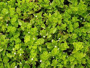Micromeria douglasii - Image: Yerba Buena Clinopodium douglasii