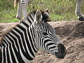 Young zebra checking us out.JPG
