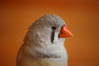 English: Zebra finch female Nederlands: Zebrav...