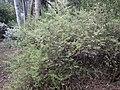 Zieria adenodonta habit.jpg