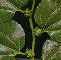 Ziziphus mucronata02.jpg