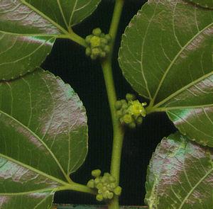 Ziziphus mucronata - flowers in leaf axils