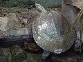 Zolwiak kolcowaty (Apalone spinifera) - Ogrod Zoologiczny w Warszawie.JPG